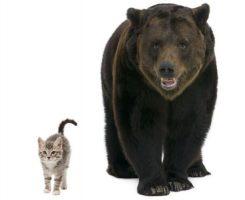 kitten-bear